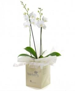 white phalanopsis