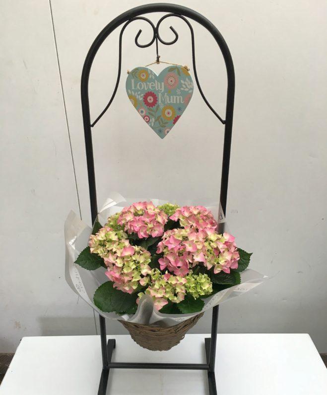 Hydrangea in swinging basket