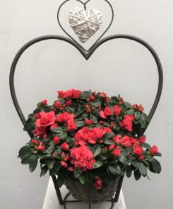 Azalea in a heart container