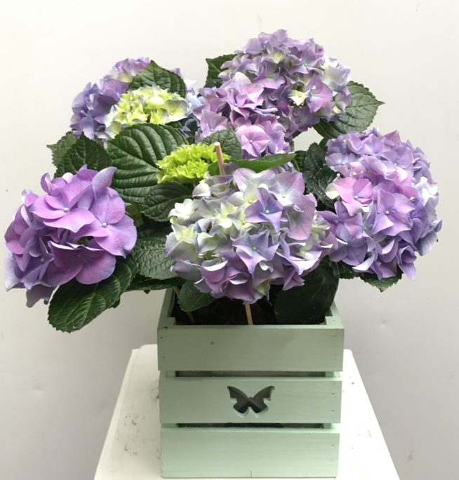 Blue Hydrangea in a wooden container