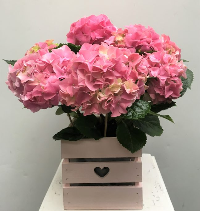Pink Hydrangea in a wooden container